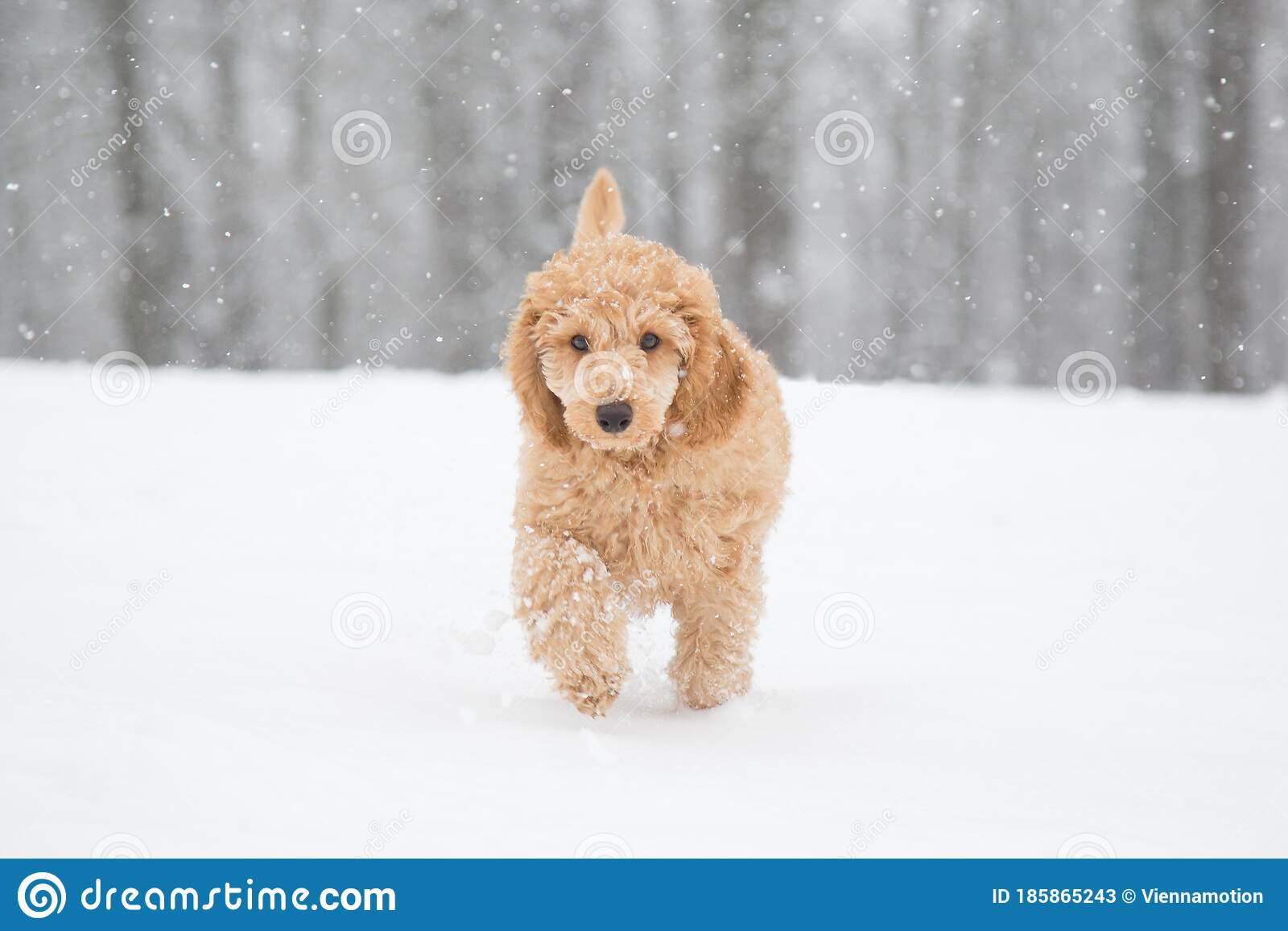 Apricot Poodle Puppy Is Jumping And Enjoying In The Snow Stock Image Image Of Beautiful Austria 185865243