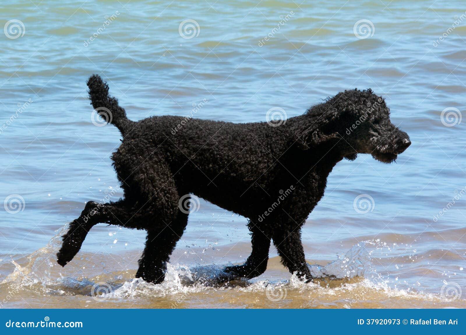 Pudelhund