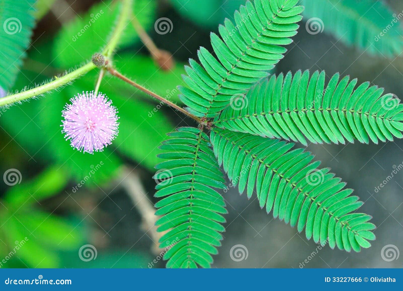 桃红色野花含羞草pudica和绿色叶子.图片