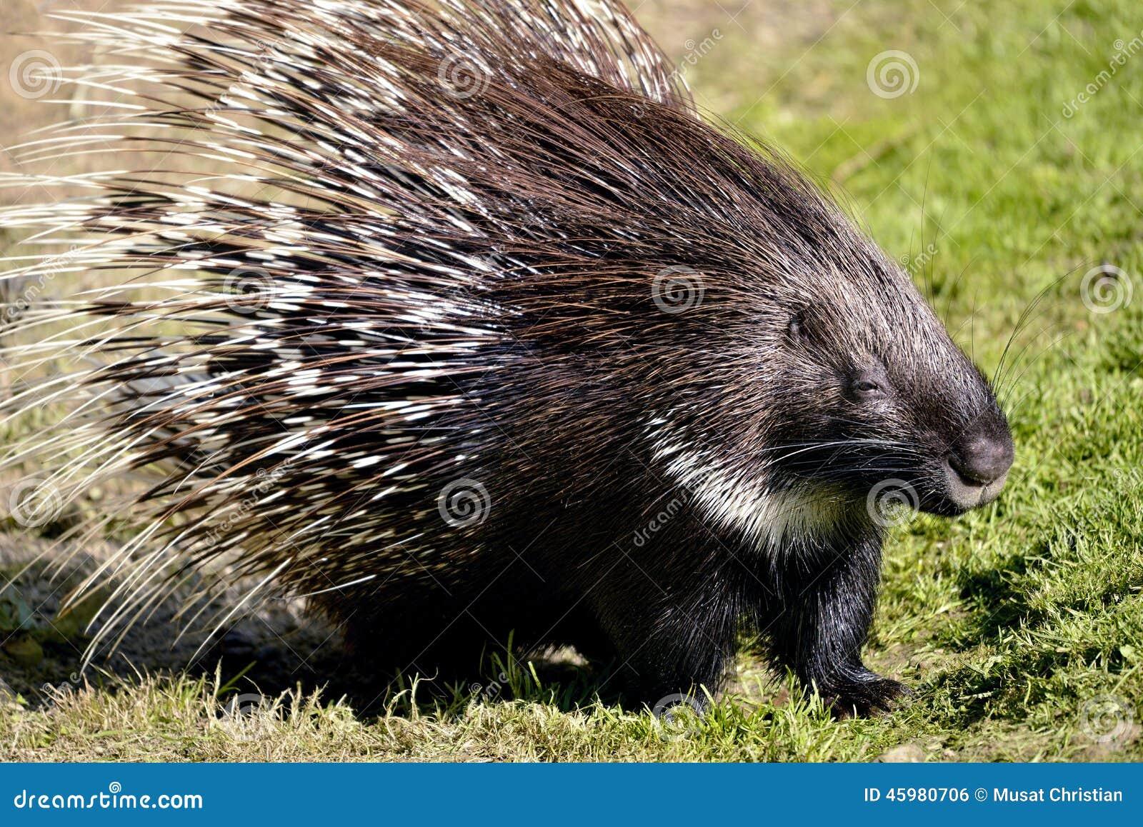 Puerco espín con cresta indio en hierba