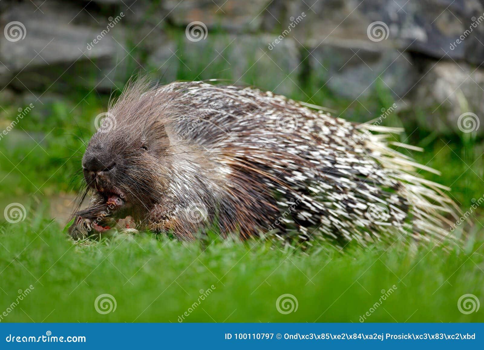 Puerco espín filipino, puerco espín indonesio, o puerco espín de Palawan, pumila de Hystrix, animal en el hábitat de la naturalez