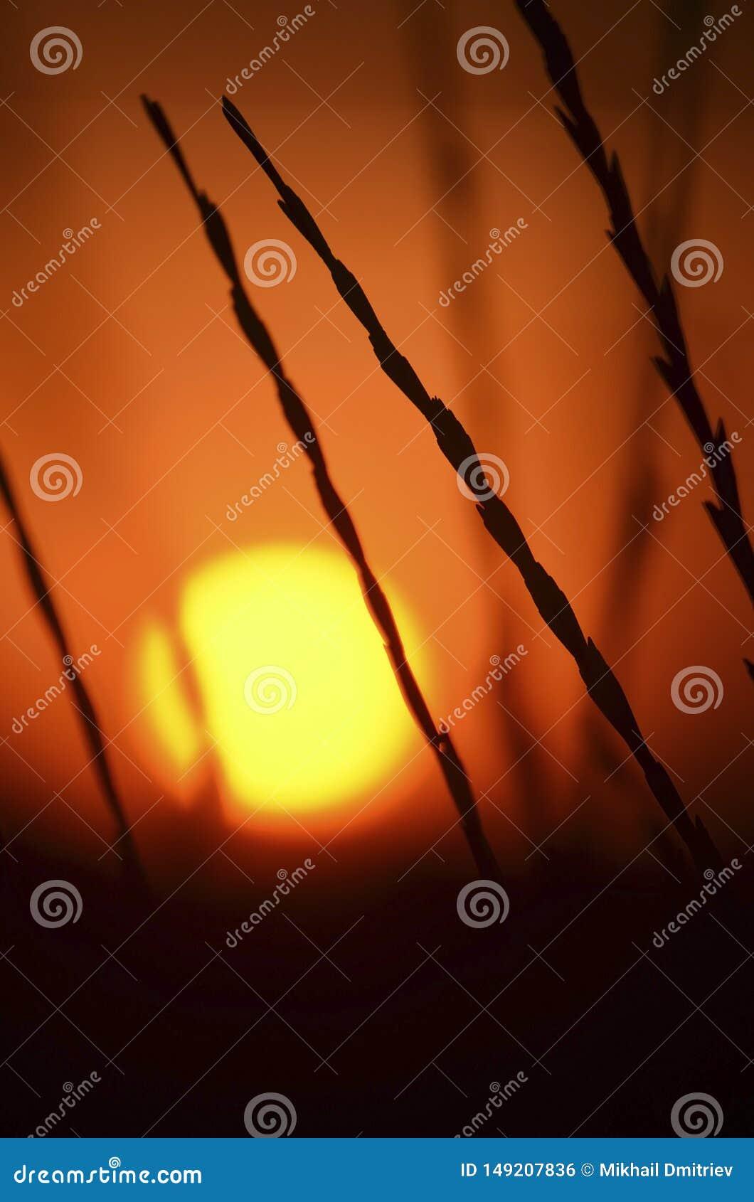 Puesta del sol caliente del verano a través de los tallos de la hierba salvaje