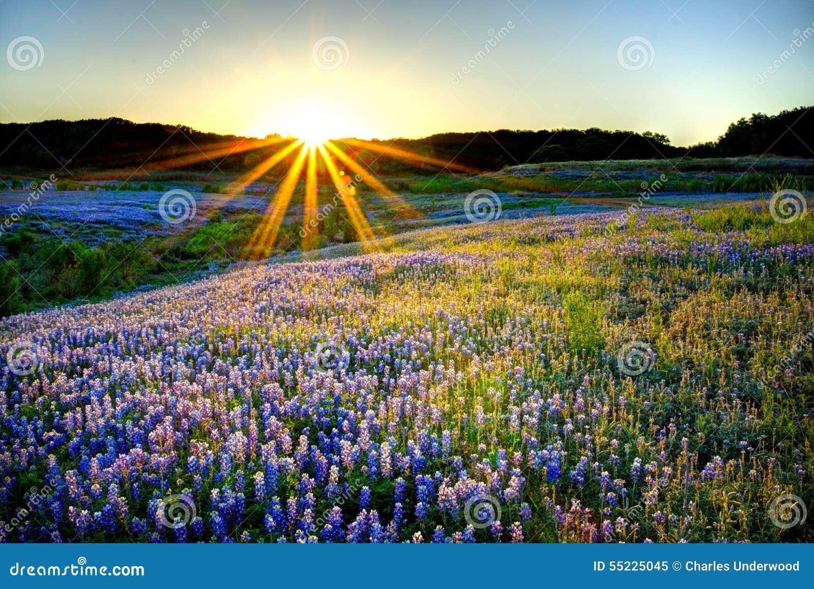Puesta del sol del Bluebonnet