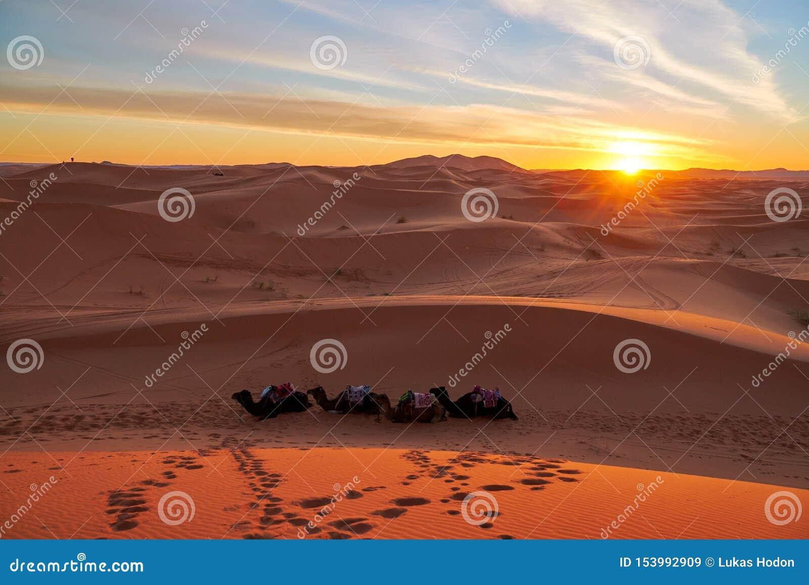 Puesta del sol en el desierto con los camellos