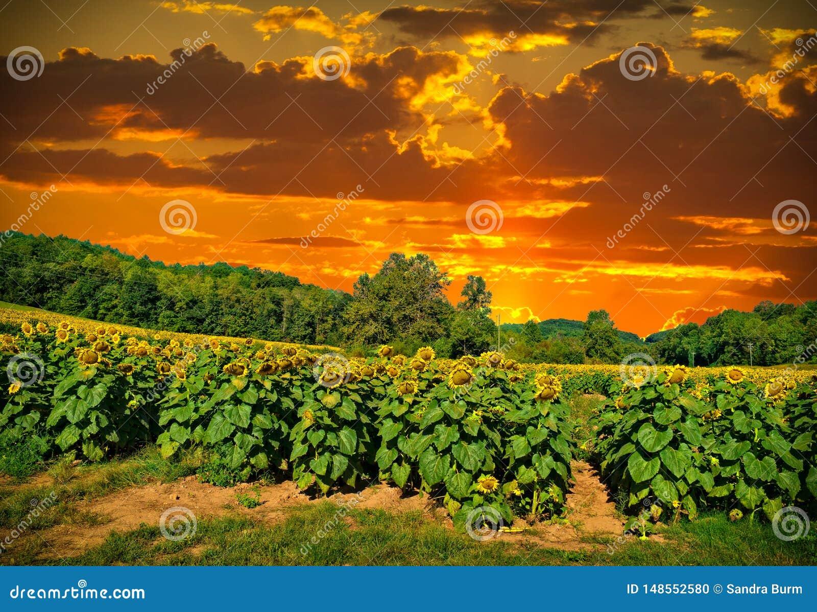Puesta del sol en un campo del girasol