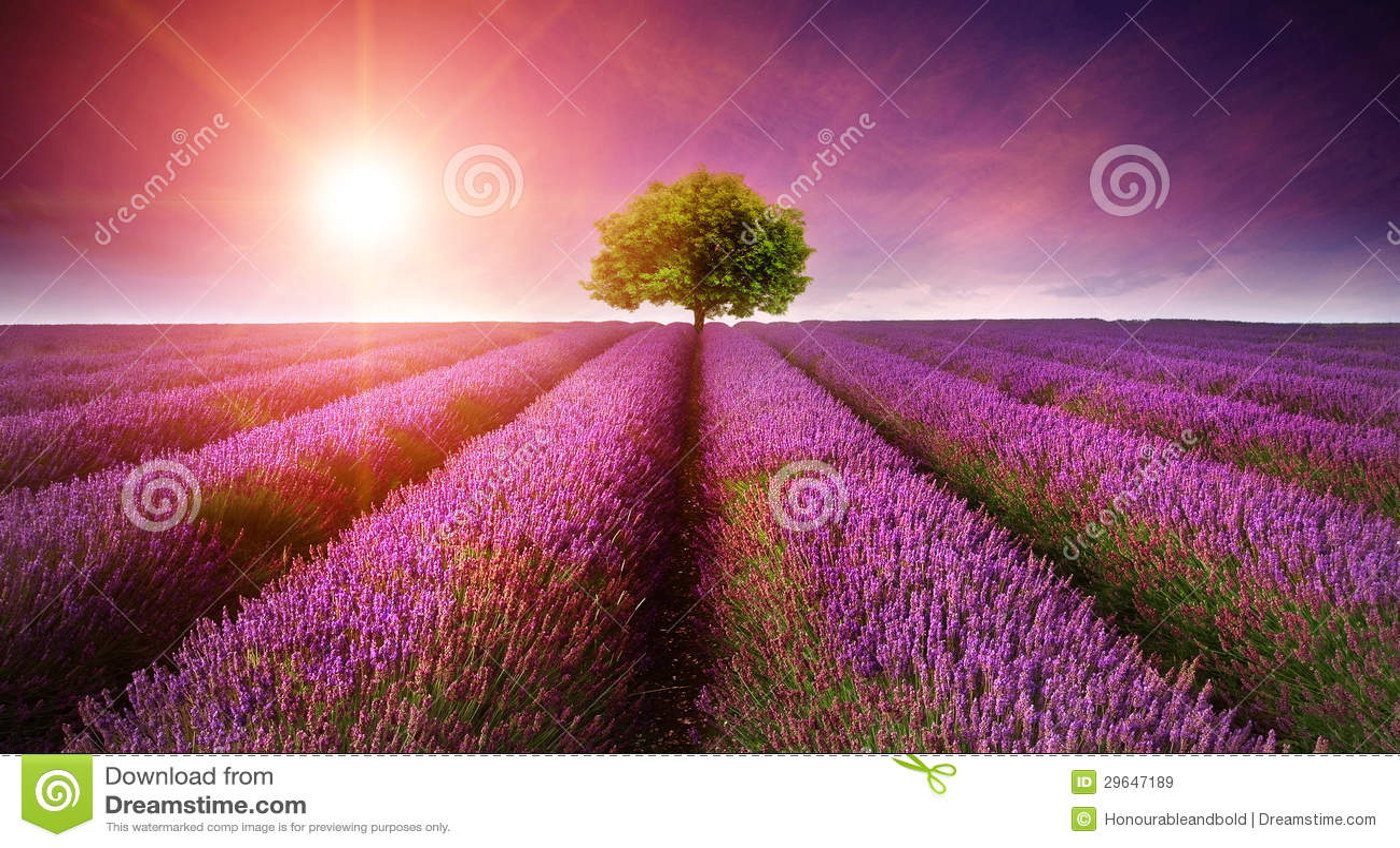 Puesta del sol imponente del verano del paisaje del campo de la lavanda con el solo árbol