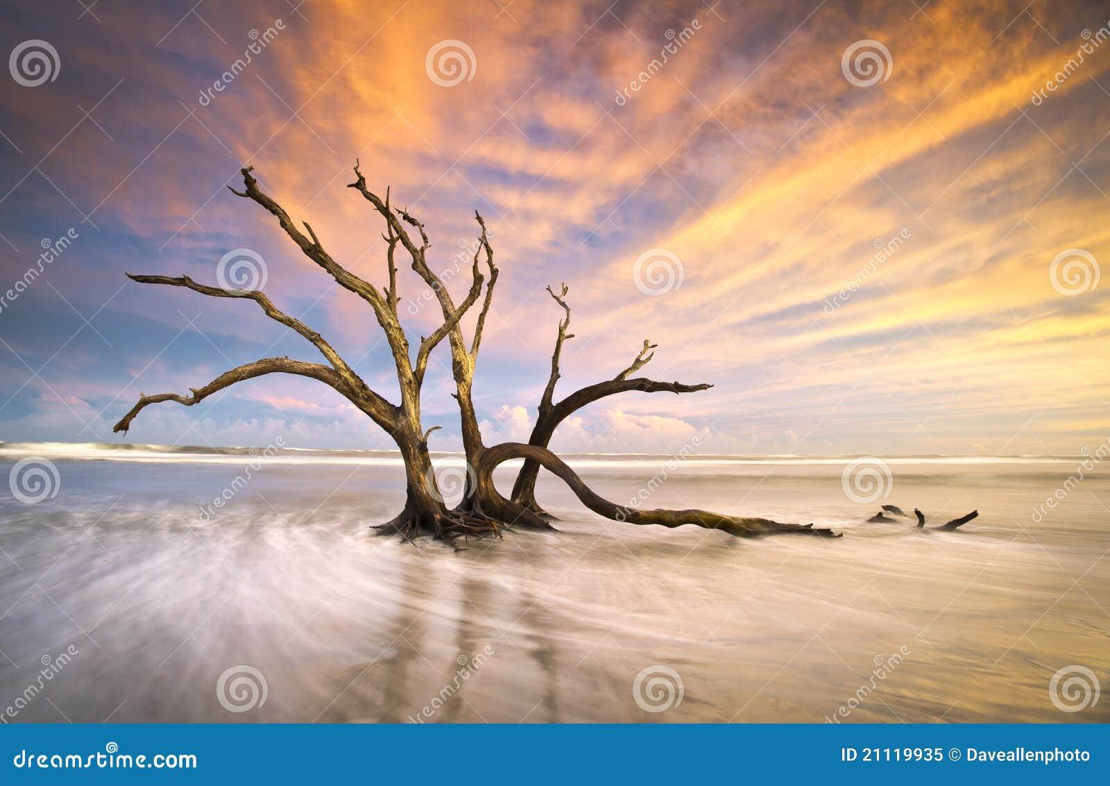 Puesta del sol muerta del océano del Driftwood del árbol de la playa de la locura