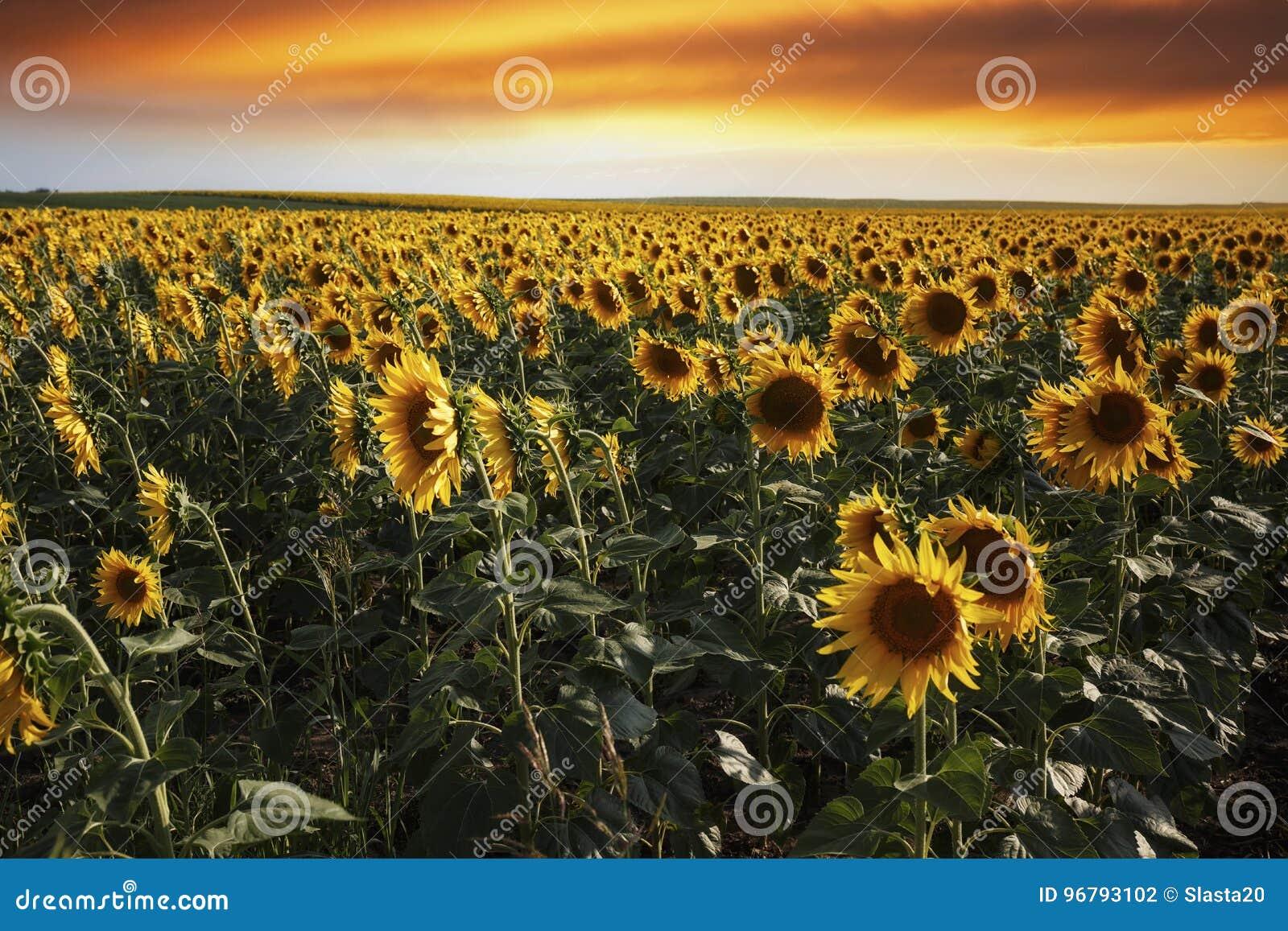 Puesta del sol sobre un campo del girasol con el cielo dramático