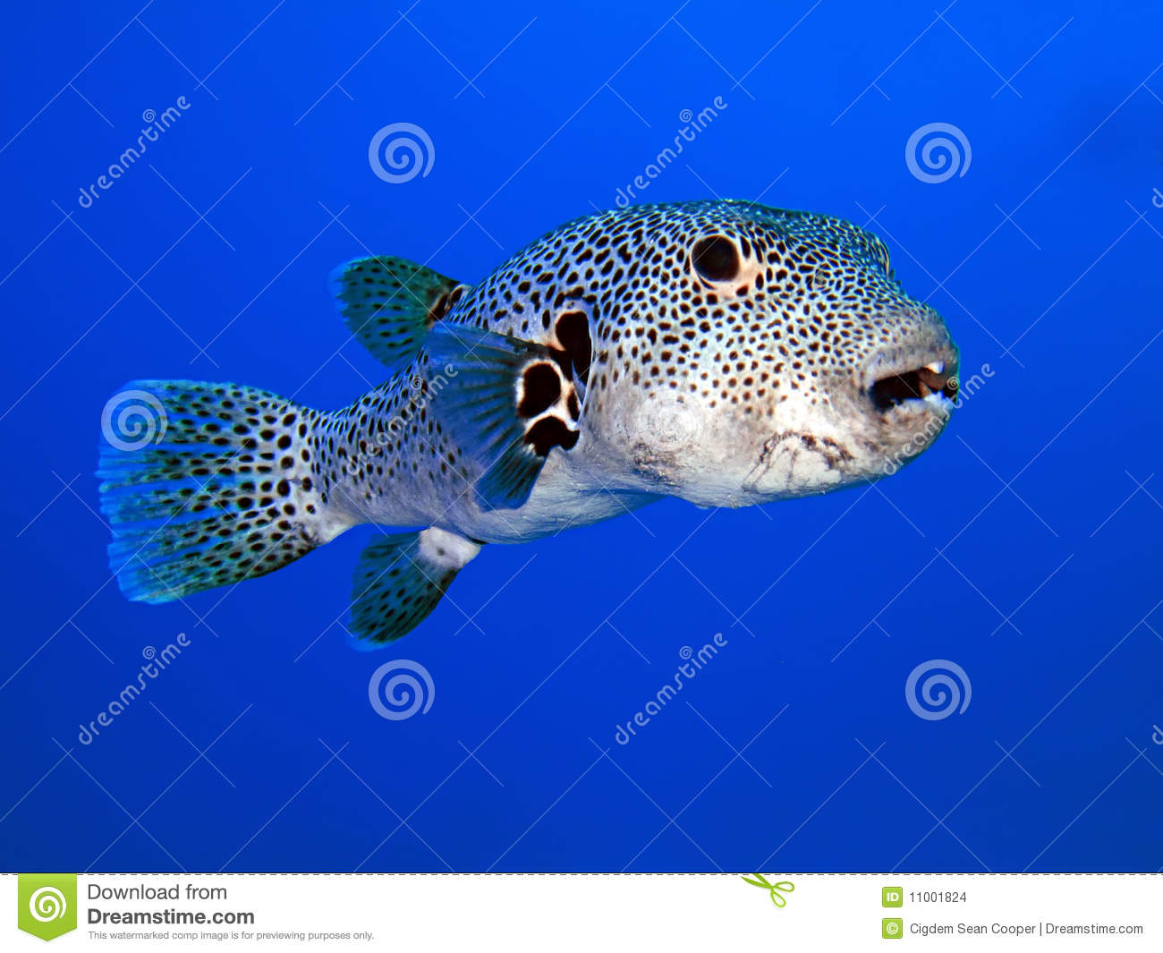 Puffer fish stock photo image of reef tropical for Puffer fish price