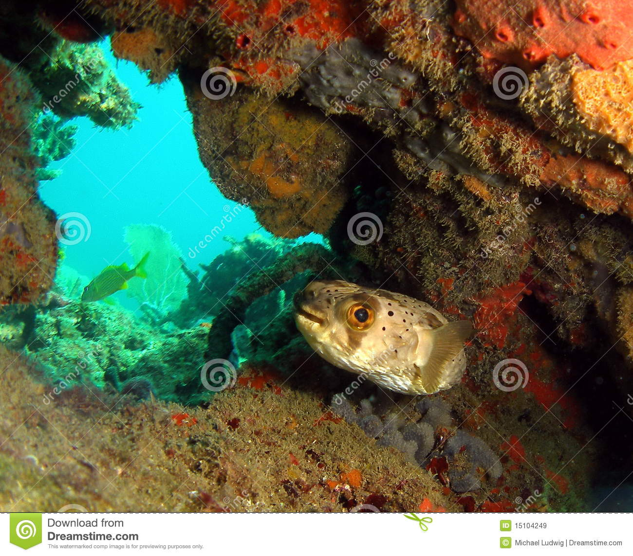 Puffer fish royalty free stock images image 15104249 for Puffer fish florida