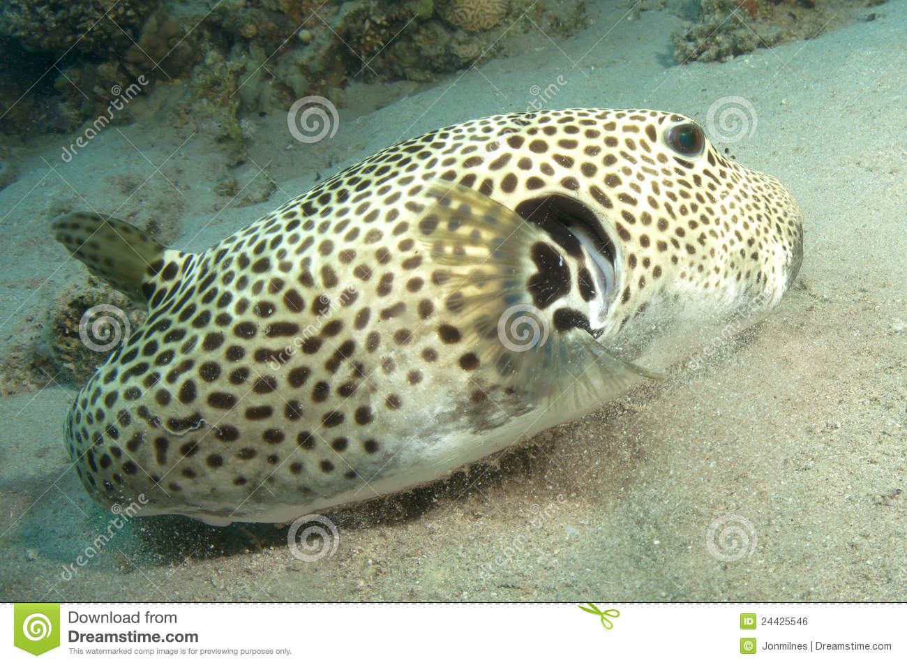 Puffer fish stock photo image of dive giant thailand for Puffer fish price