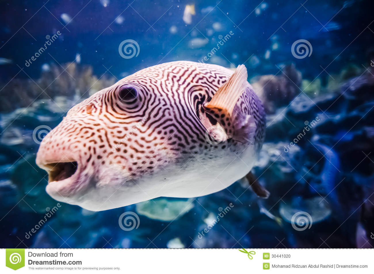 Puffer fish in tank stock photo image of captivity for Puffer fish price