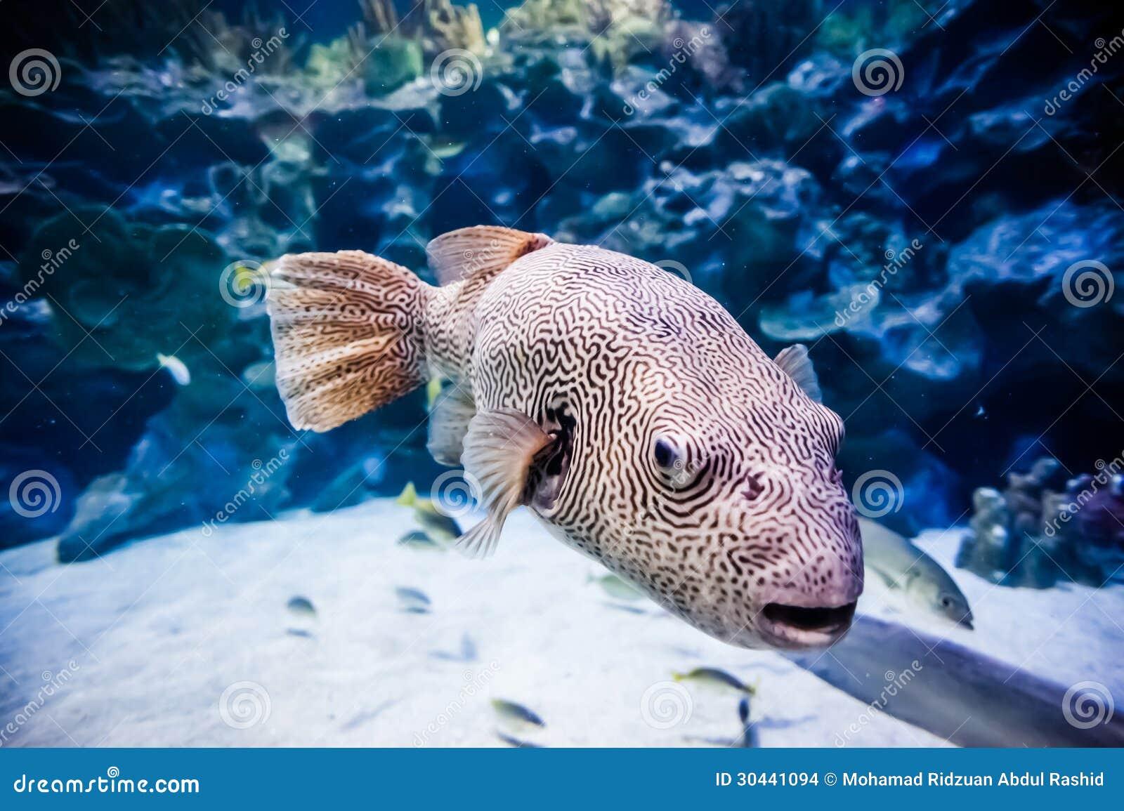 Fish in big aquarium - Puffer Fish In Tank