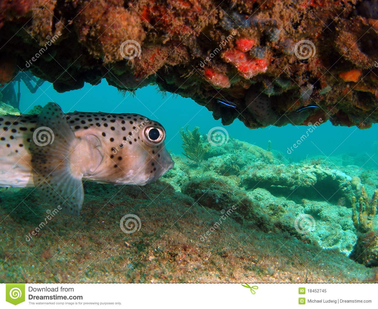 Puffer fish under coral royalty free stock photo image for Puffer fish florida