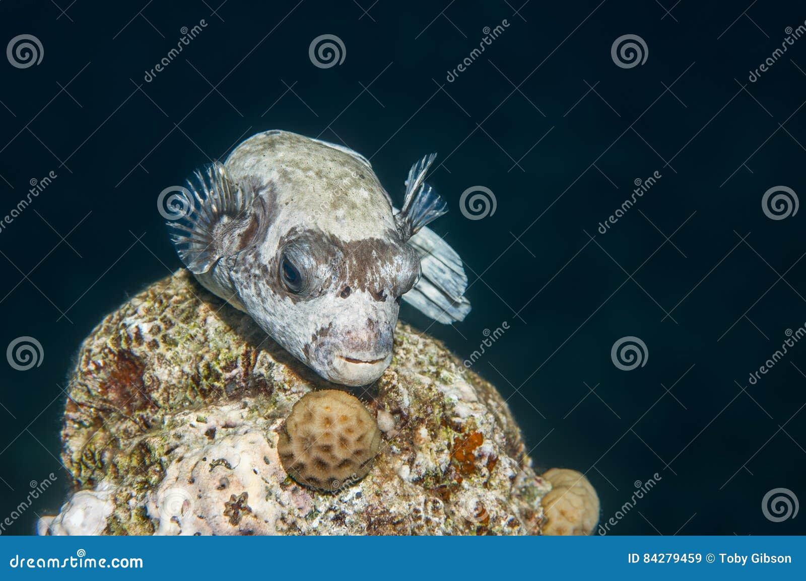 Puffer ryba