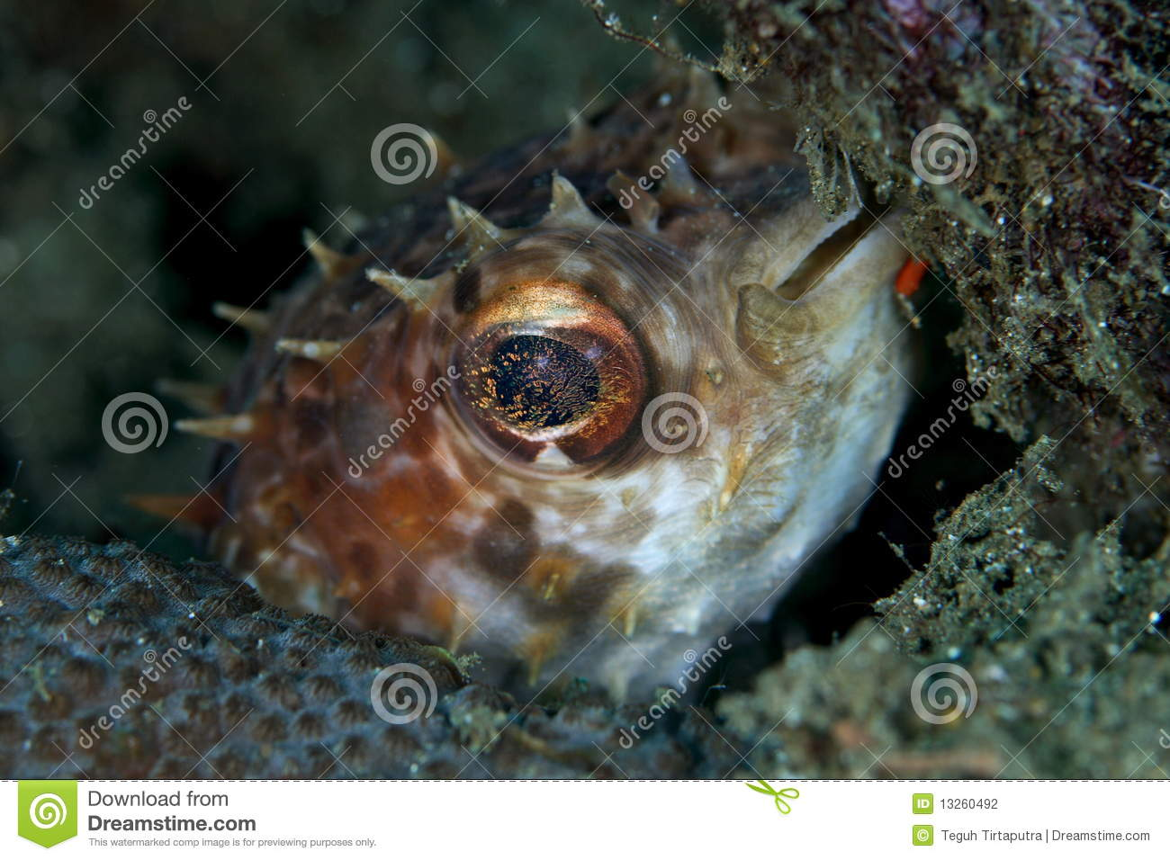 Pufferfish dell istrice