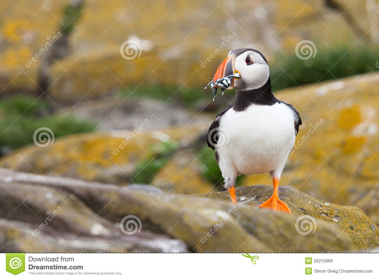 Puffin eating fish royalty free stock images image 25215969 for Dreaming of eating fish
