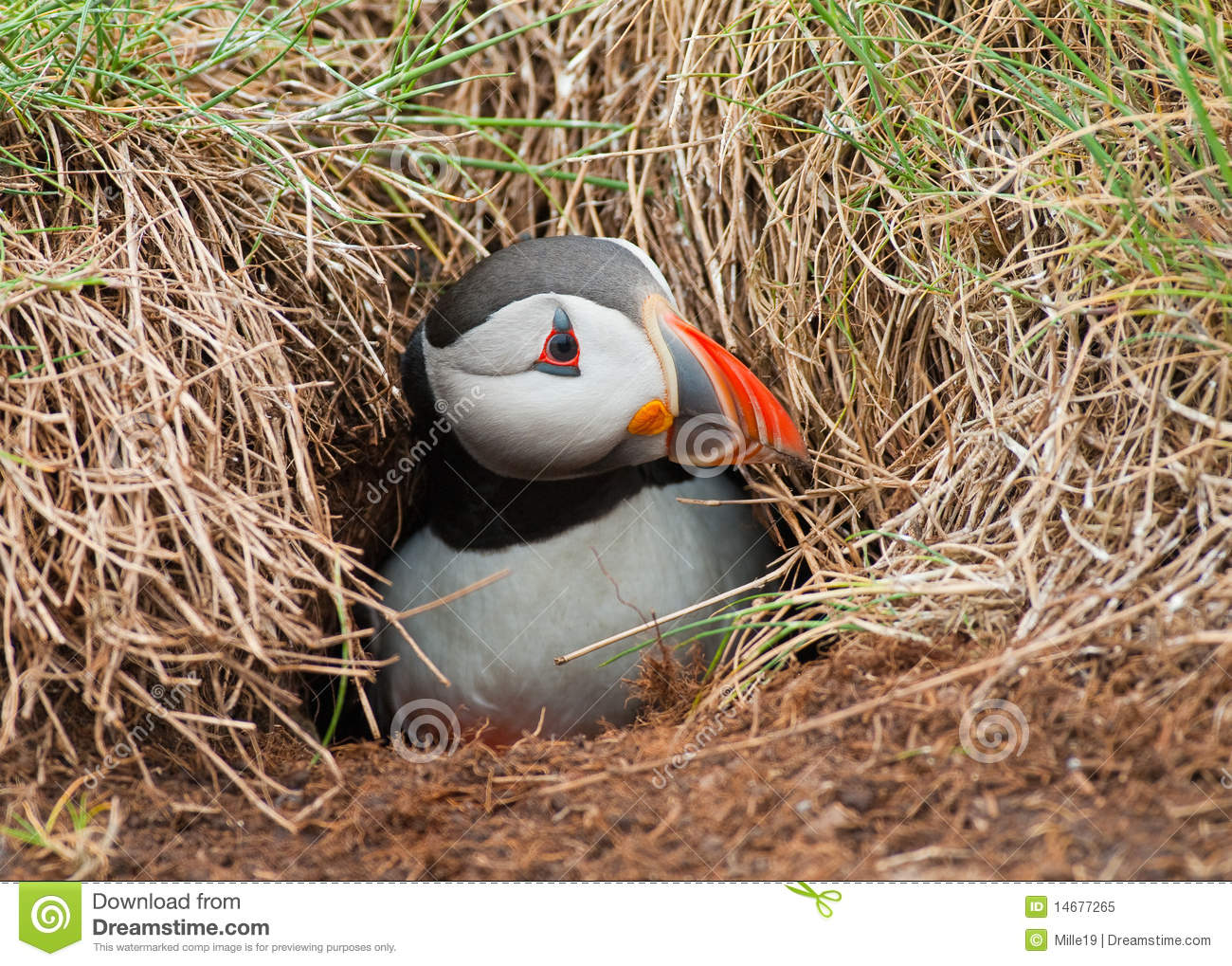 Puffin Emerging From B...