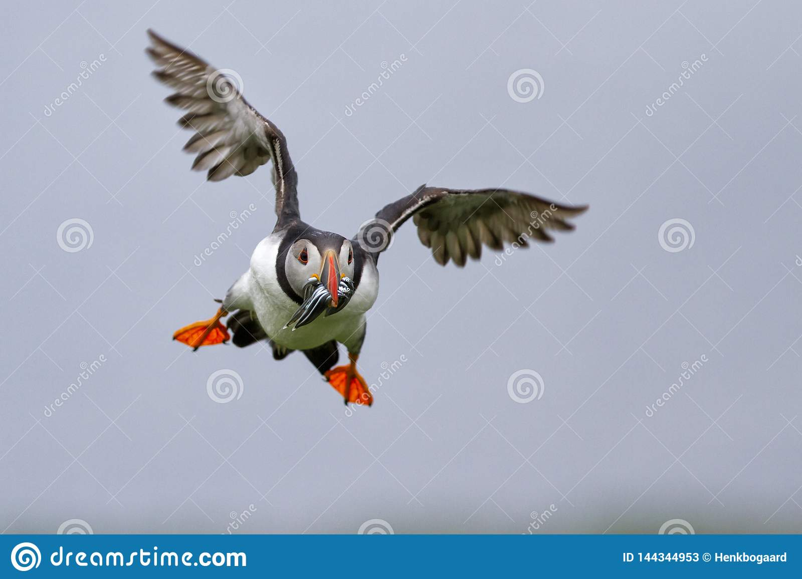 Puffin flying on the Farne Islands