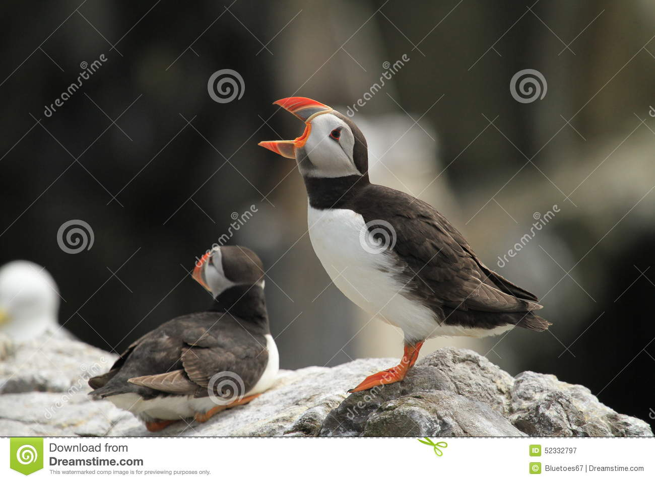 Download Puffin Standing On A Rock With Open Mouth Stock Image - Image of environment, creature: 52332797