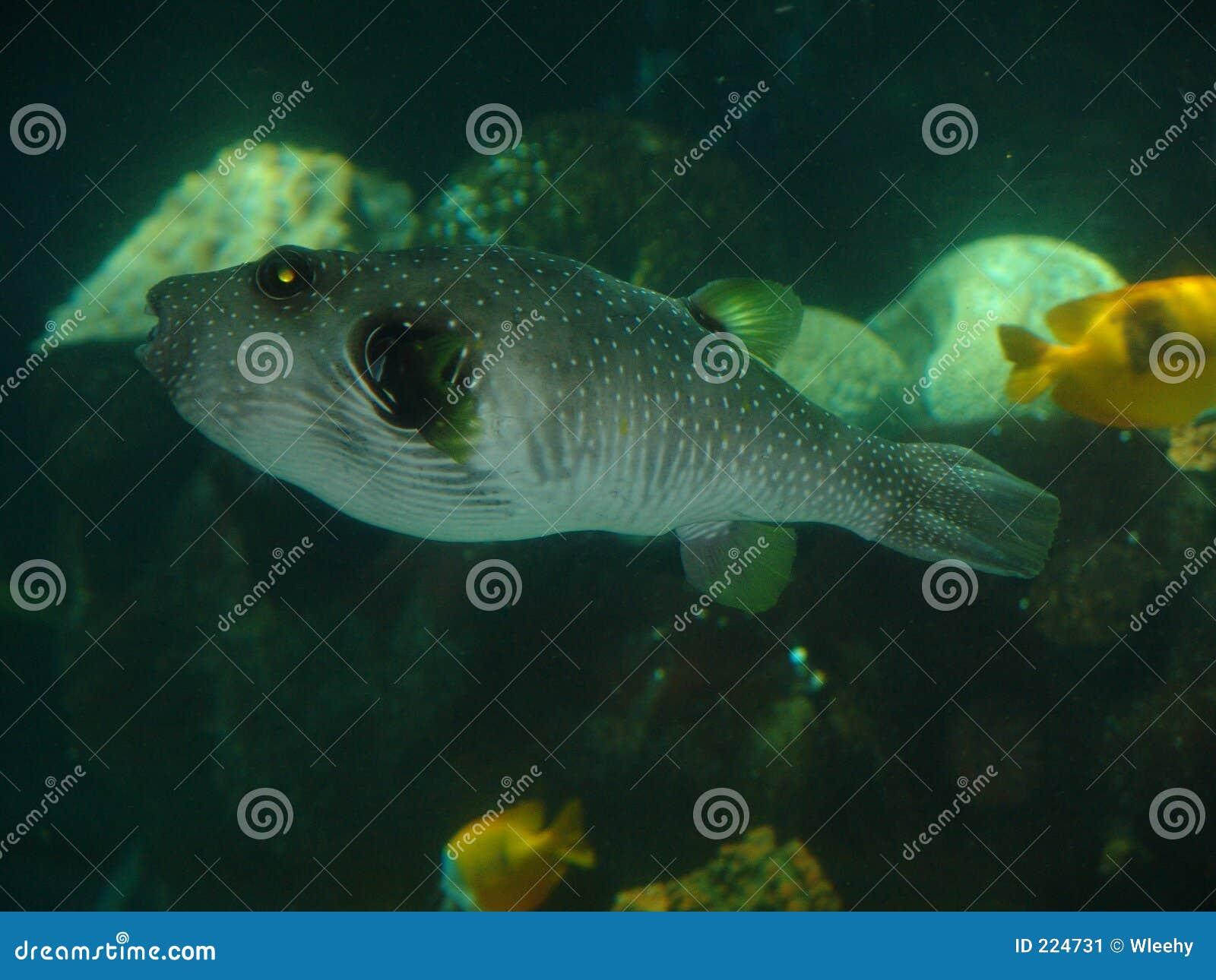 Puffy fish