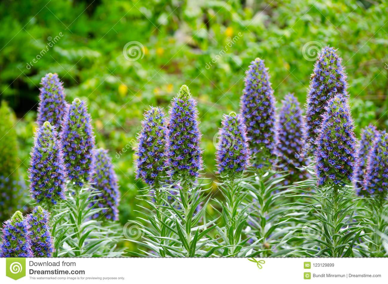 Puffy Lavender Purple Color Flowers At A Botanic Garden In Spring