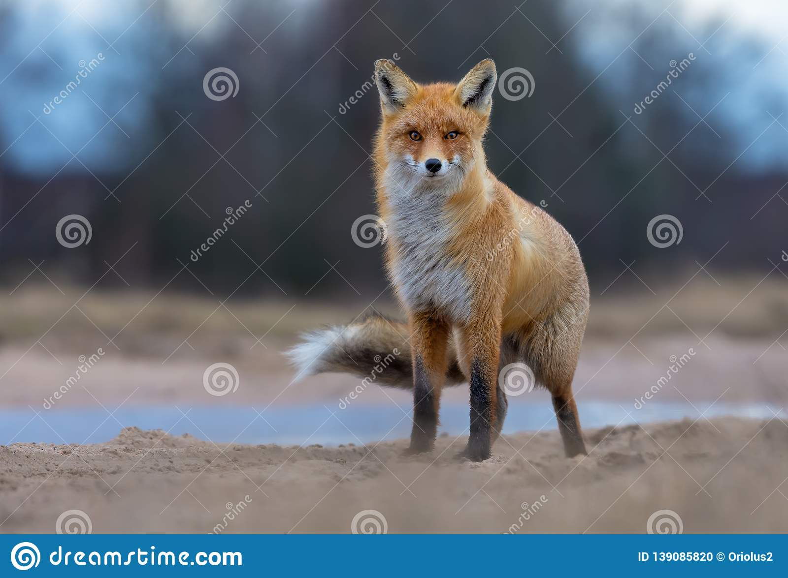 Puffy Red Fox posing on sand road anf looks at the viewer in turbulent and rough weather