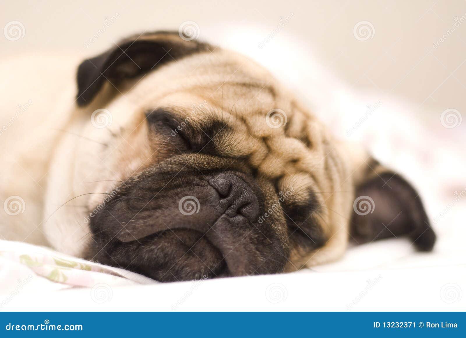 Pug собаки
