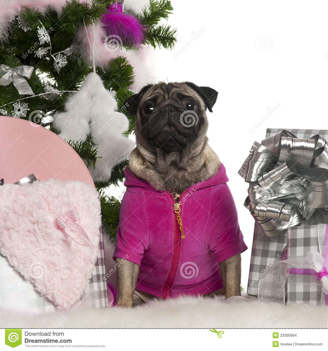 Pug 3 Years Old With Christmas Tree And Gifts Stock Photo Image