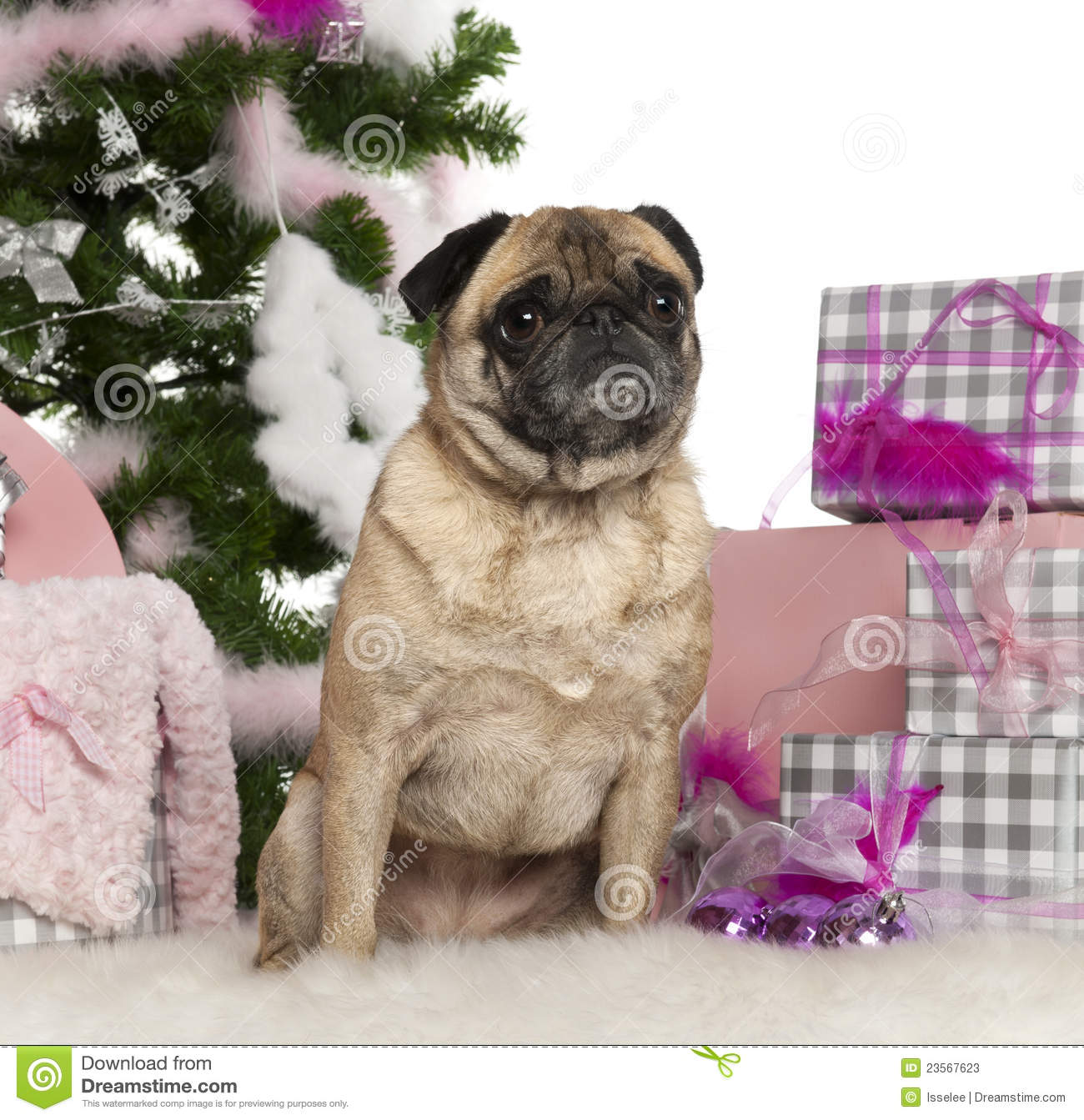 Pug, 4 Years Old, With Christmas Tree And Gifts Stock ...