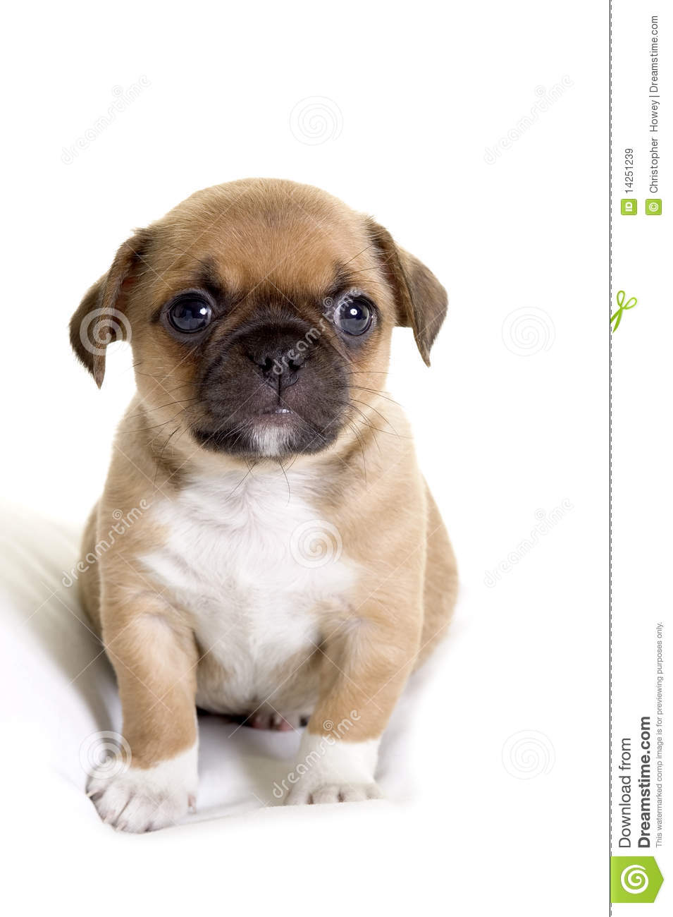 chiuaua pug puppies pug chihuahua puppy stock image image of puppy chihuahua 854