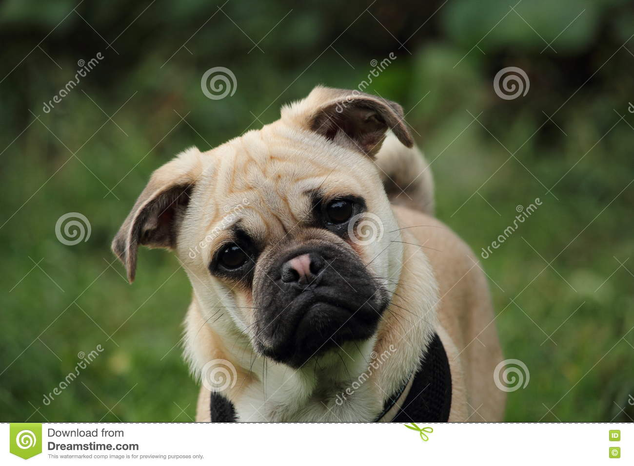 Pug Cross Jack Russell Puppy Stock Photo Image Of Cute Animal