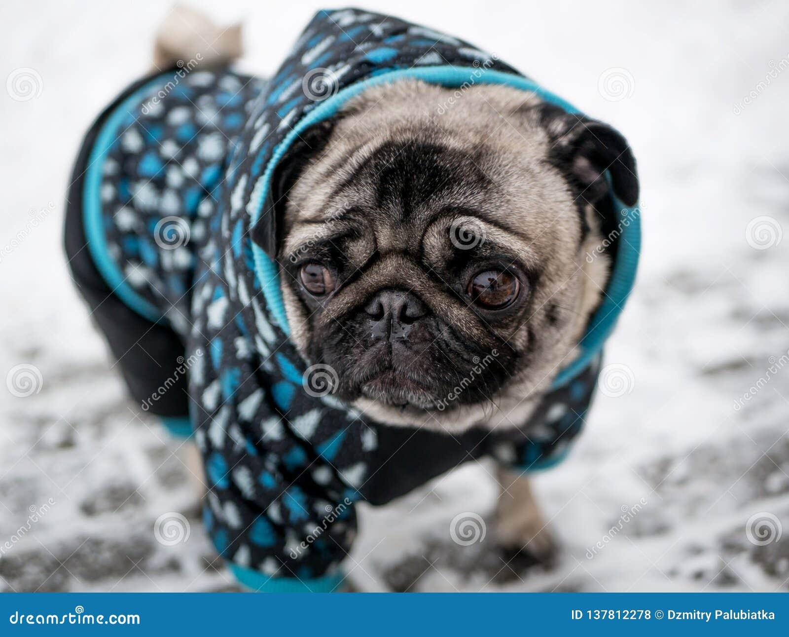 Pug da raça do cão no revestimento Cão encantador