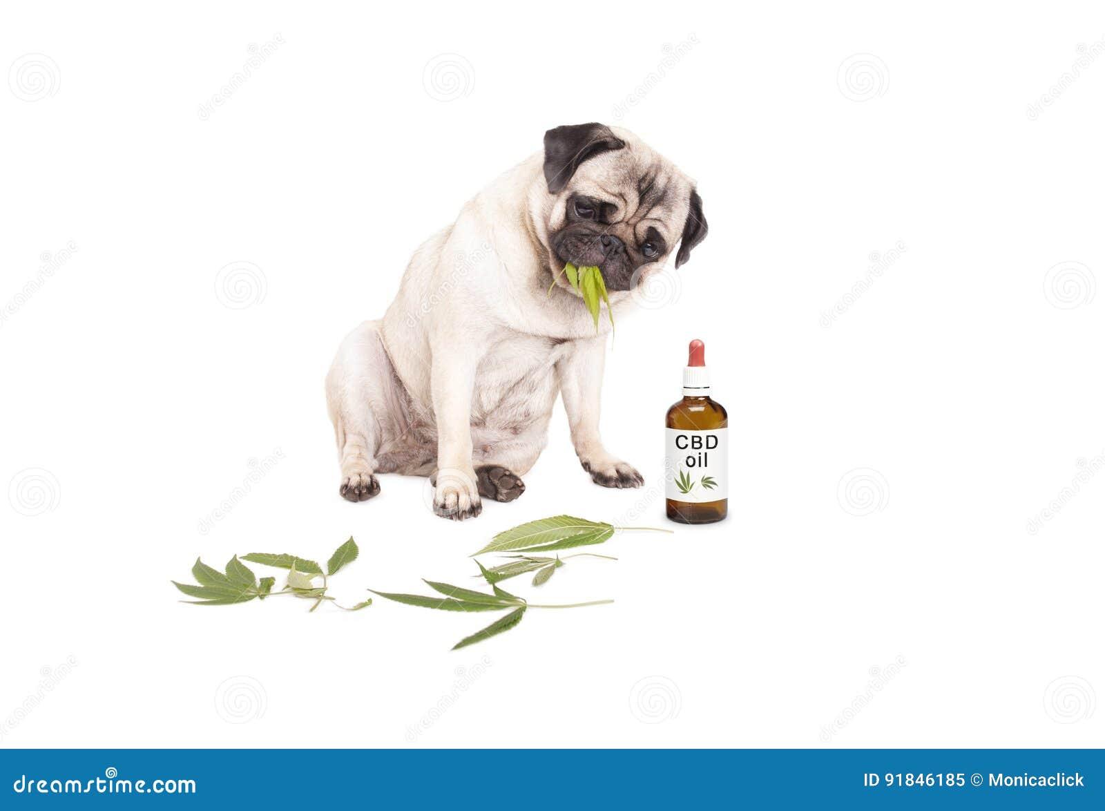 Pug de hond die van het puppyhuisdier onkruid, sativa Cannabis eten die, verlaat zitting naast druppelbuisjefles CBD-olie voor di
