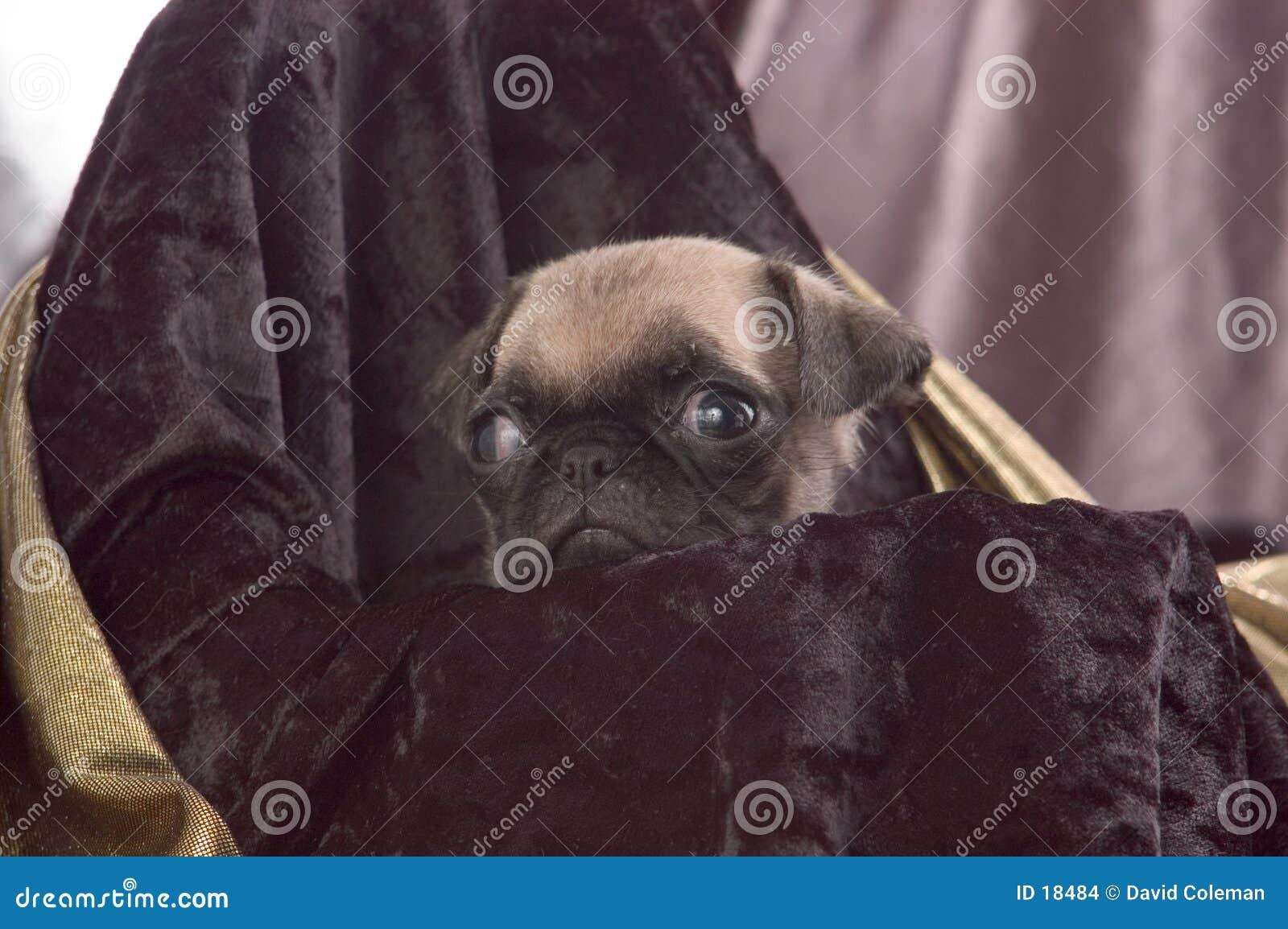 Pug Dichte Omhooggaand van het Puppy
