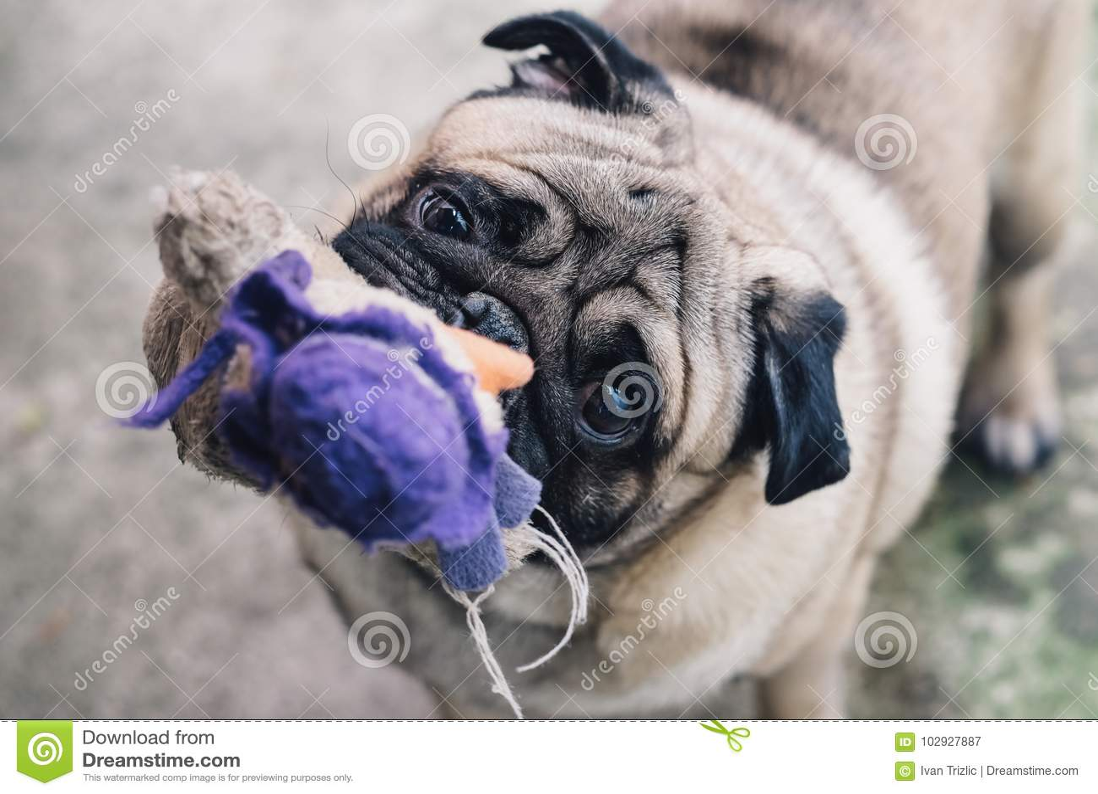 Pug do bebê Persiga o Pug Feche acima da cara de um pug muito bonito