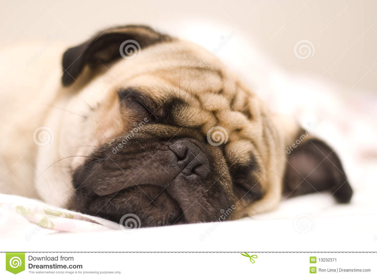 pug dog stock image image 13232371