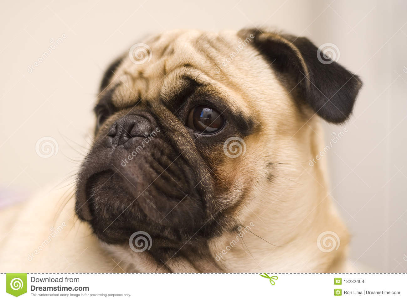 pug dog stock images image 13232404