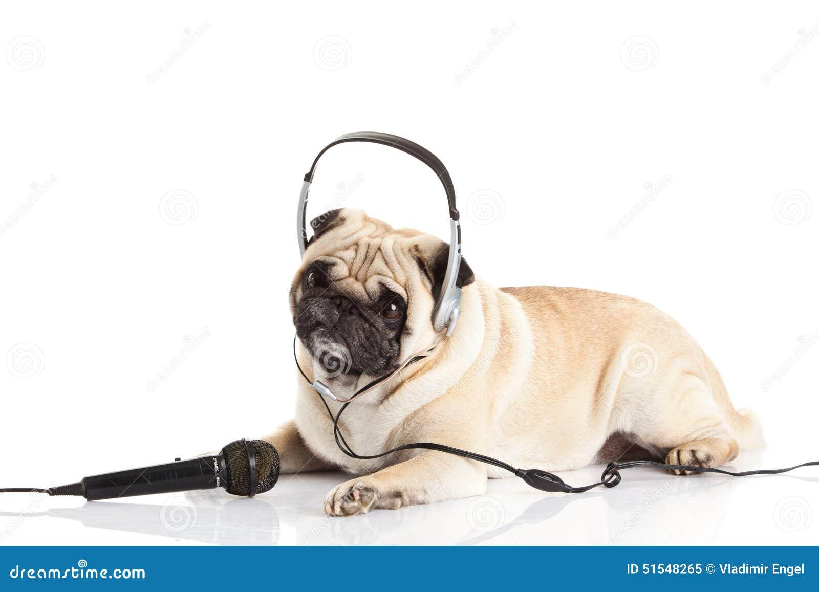 Pug dog with headphone isolated on white background callcenter concept