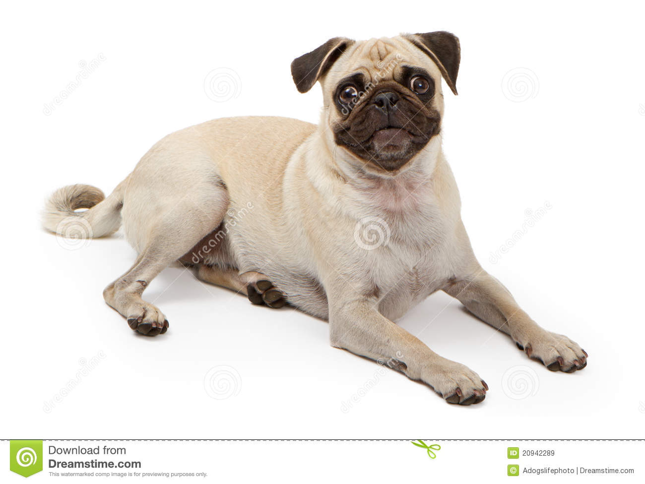 pug laying down pug dog laying down royalty free stock images image 2545
