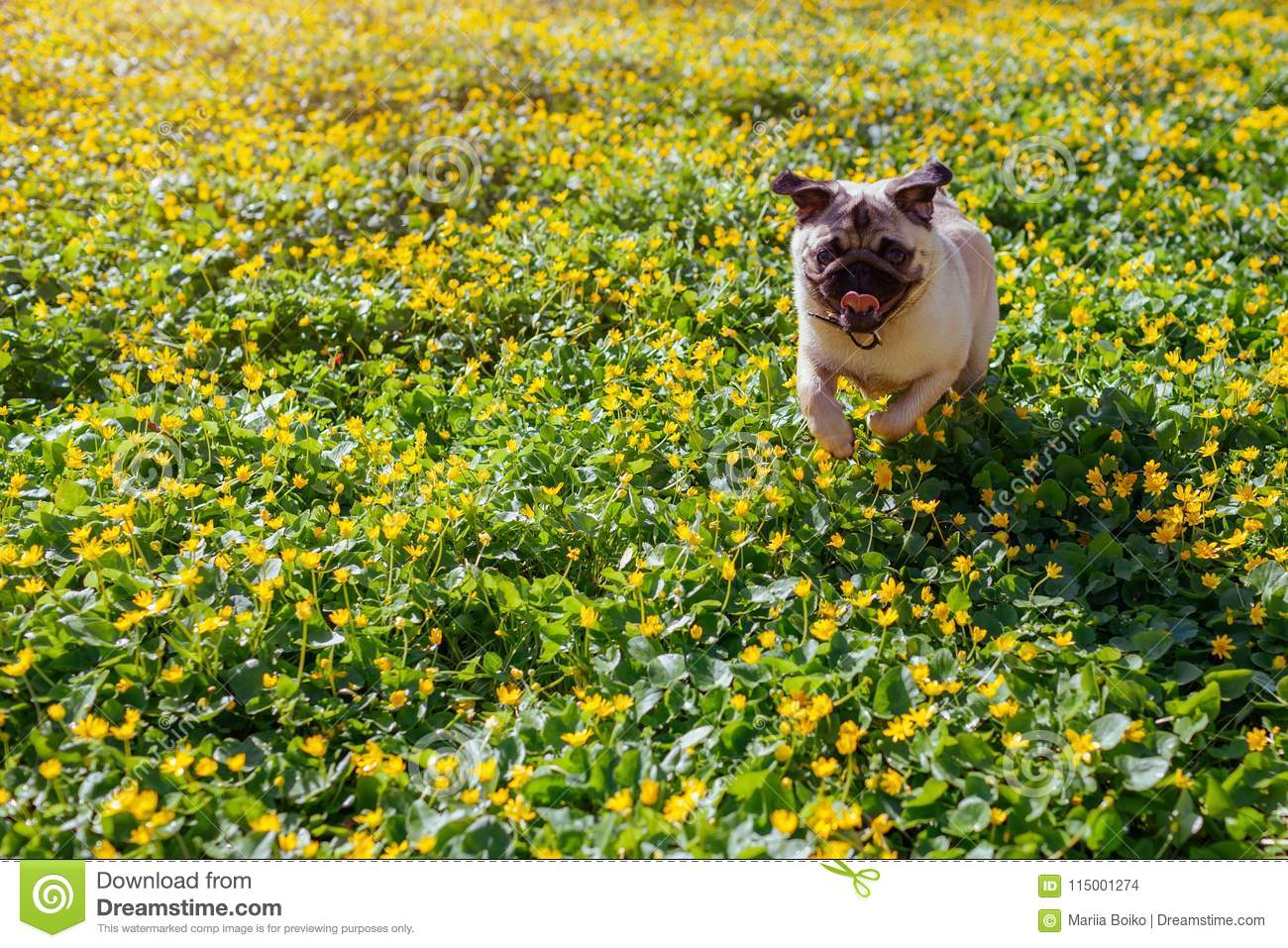 Pug Dog Running In Spring Forest Puppy Having Fun Among Yellow