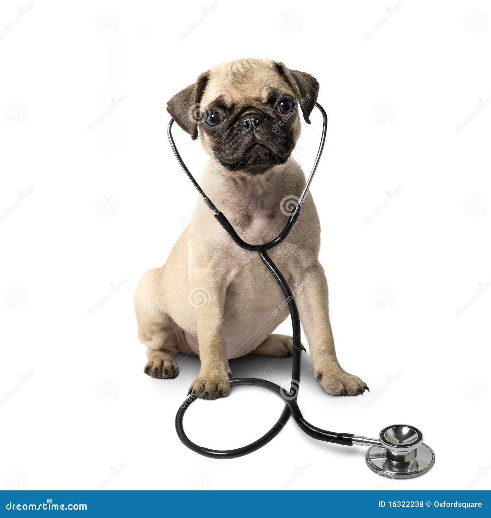 Pug dog and a stethoscope