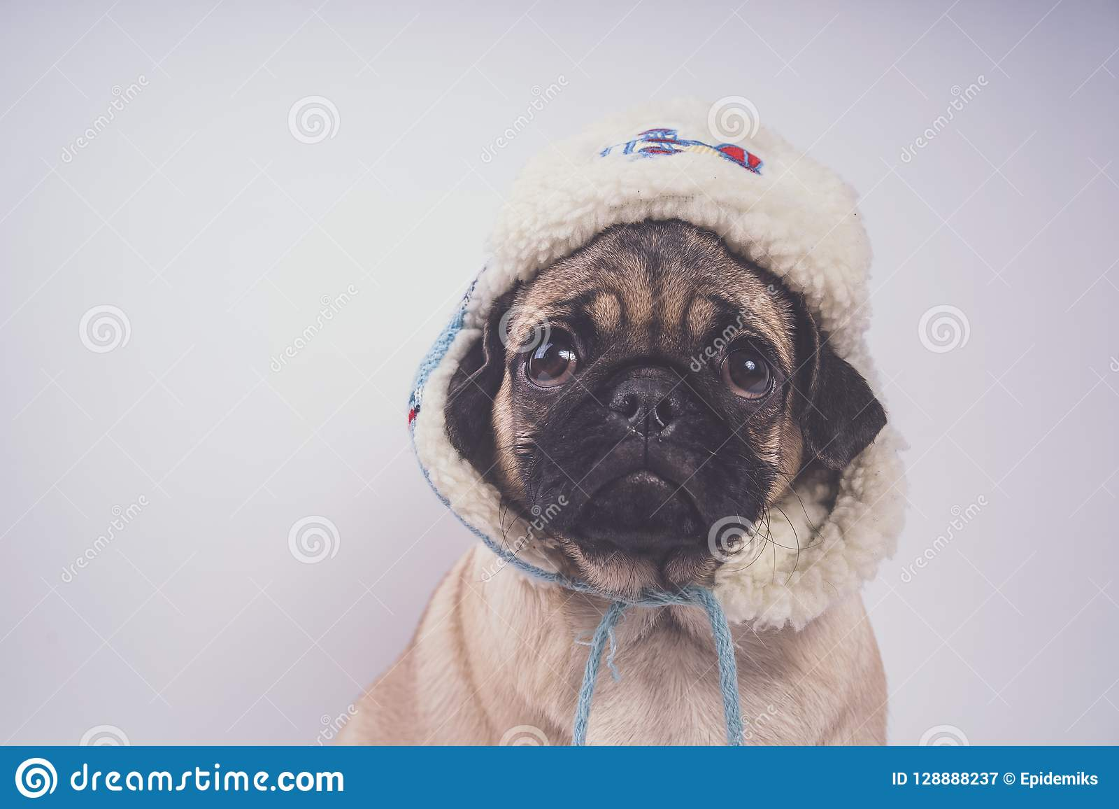 6d03a437 Pug, Dog On White Background. Cute Friendly Fat Chubby Pug Puppy ...