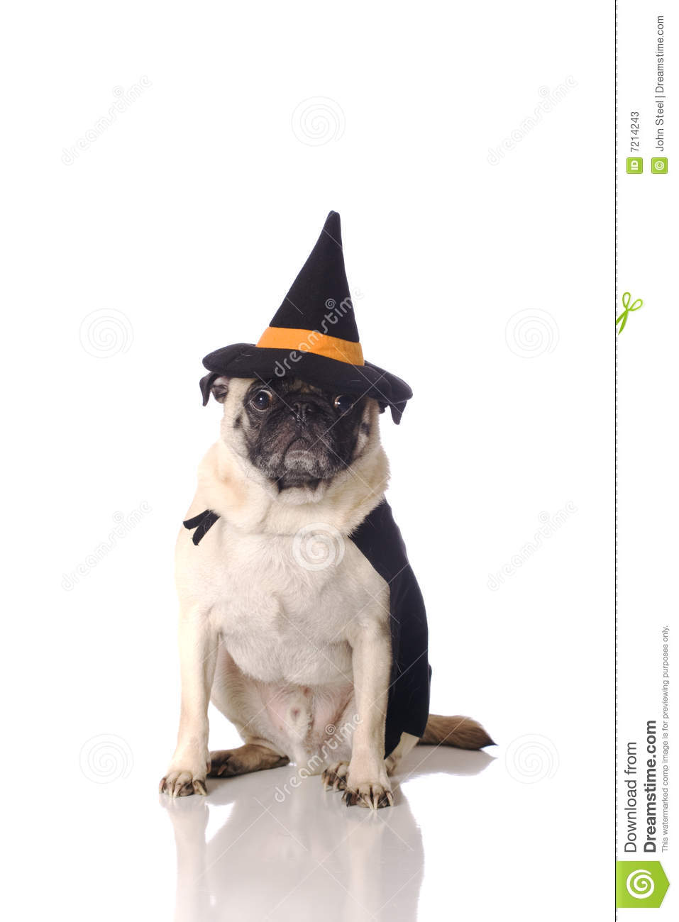 pug dog in witch costume stock photos