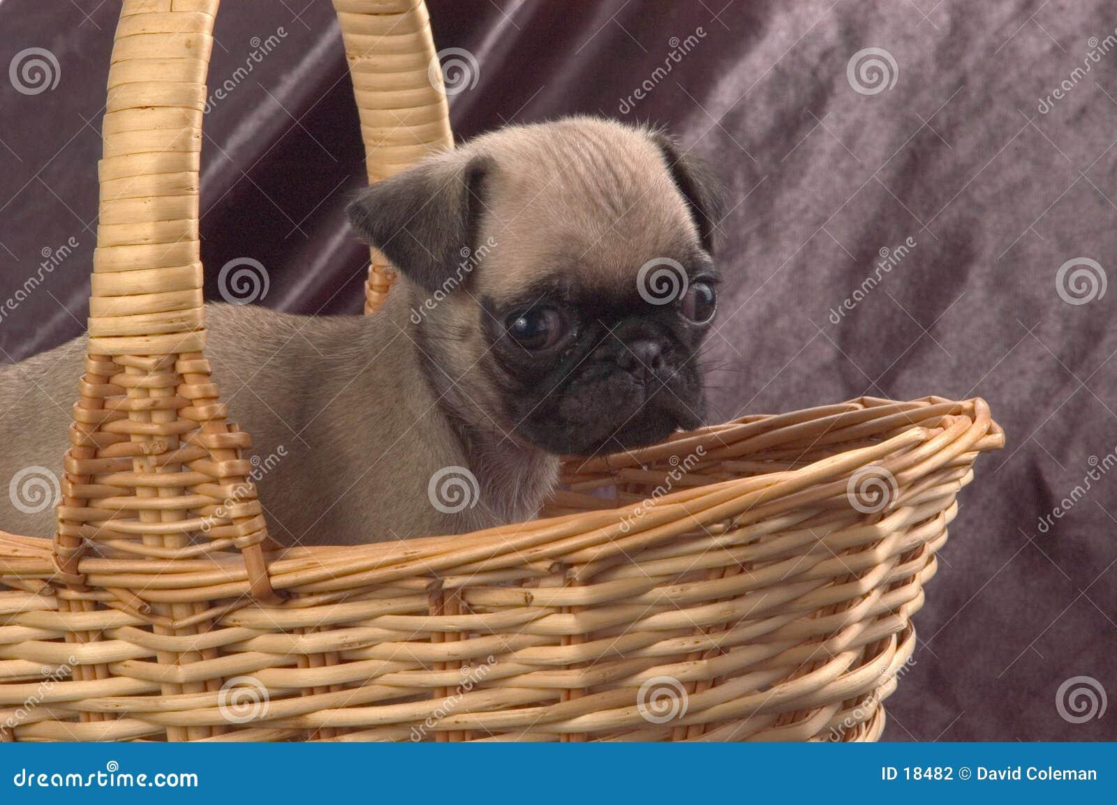 Pug in een mand