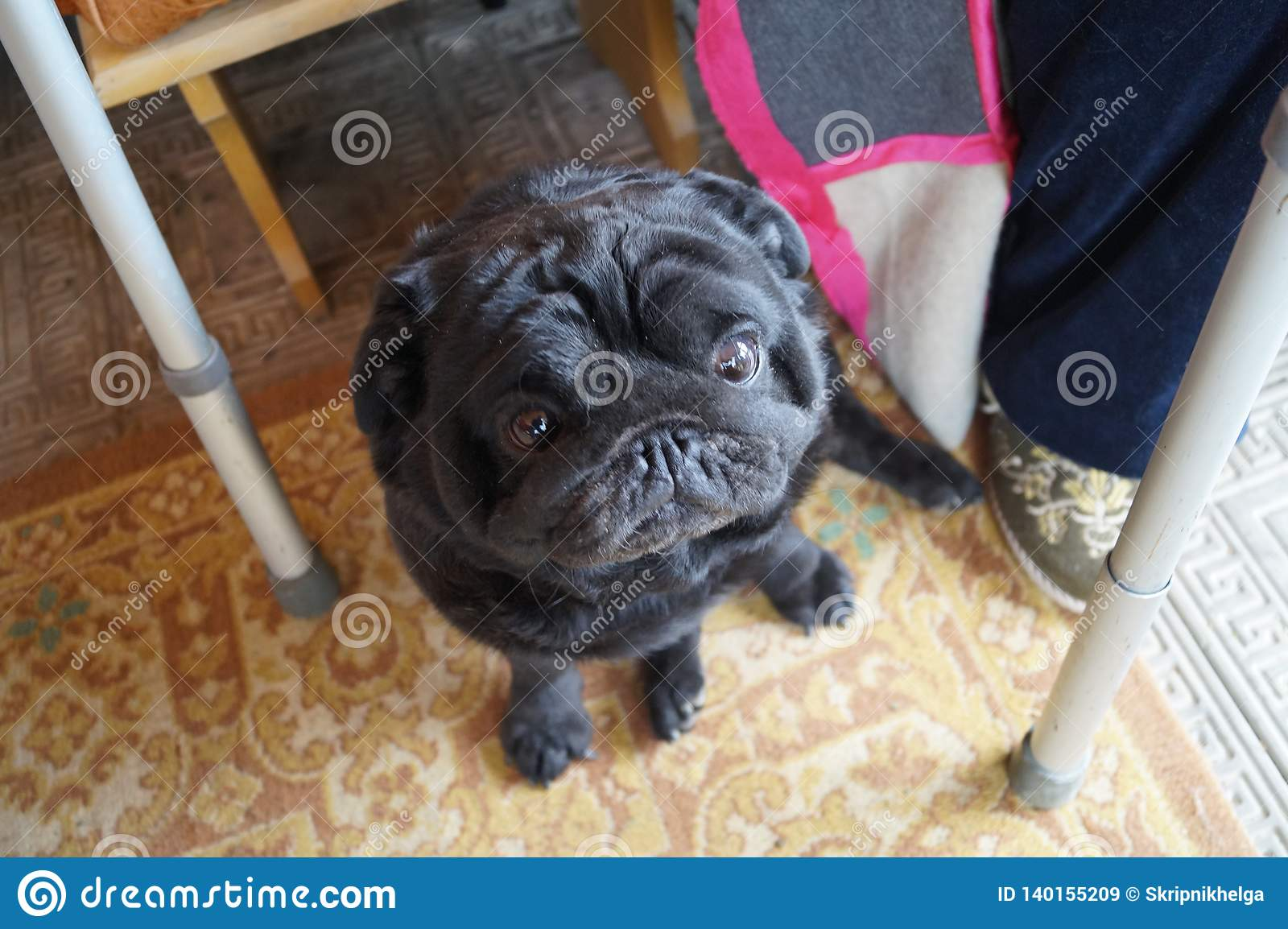 Pug about an elderly man. in the legs next to the walker for the disabled. the dog is sitting on the floor