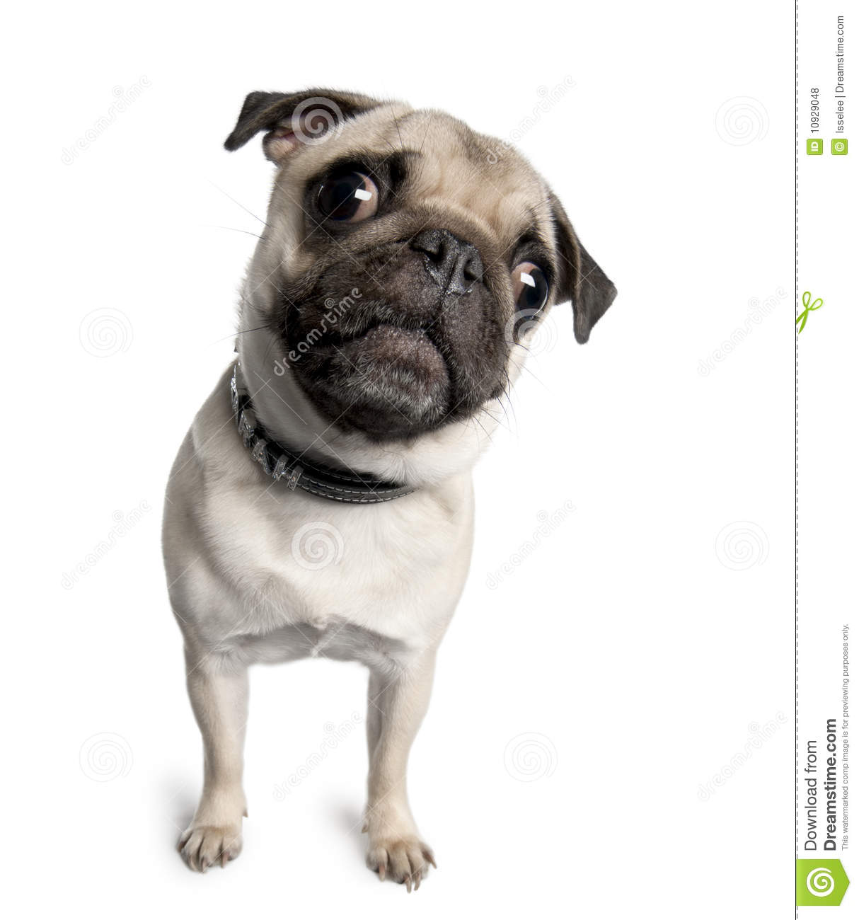 Pug In Front Of A White Background Royalty Free Stock