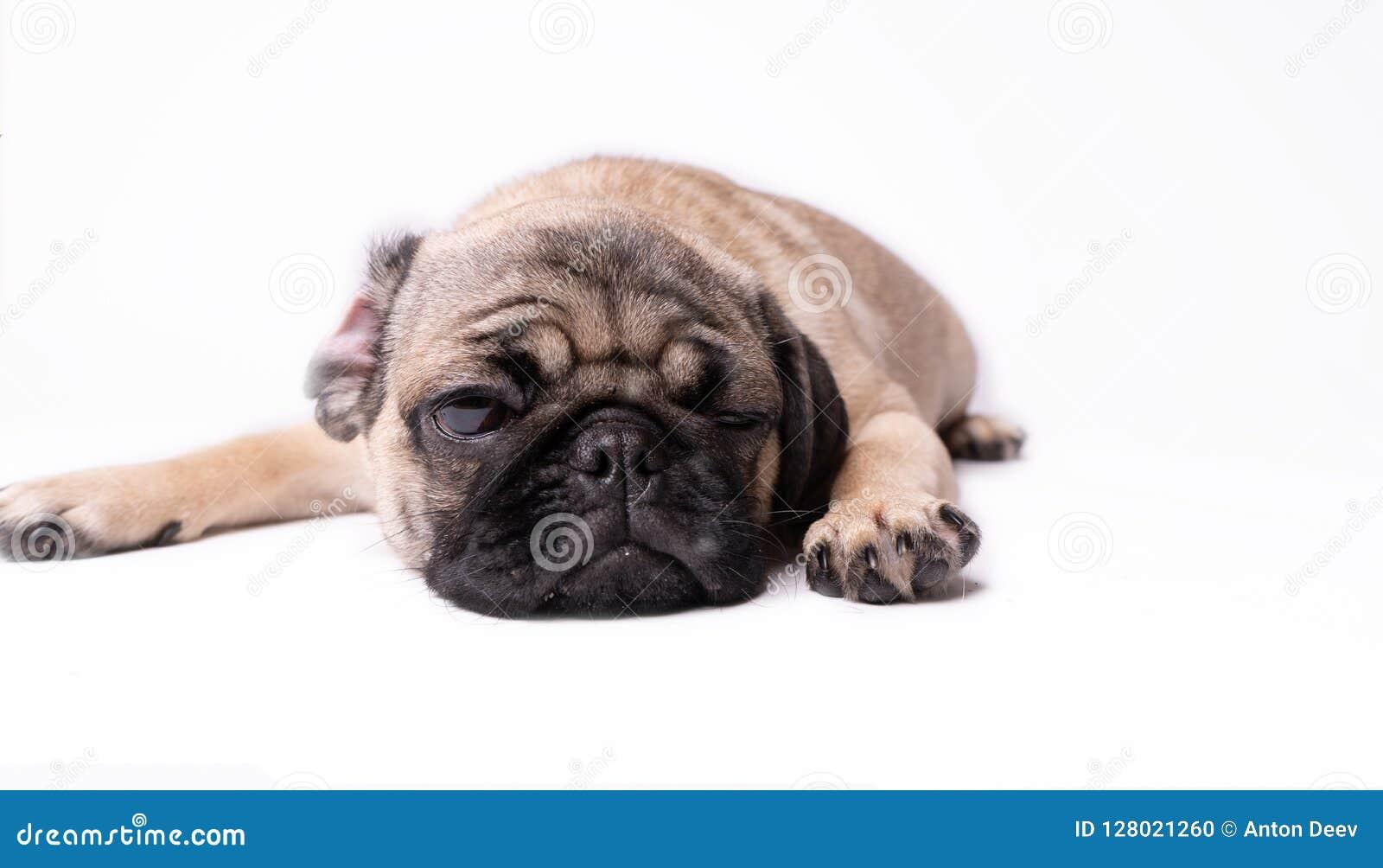 Pug, hond op witte achtergrond Leuk vriendschappelijk vet mollig pug puppy Huisdieren, hondminnaars, op wit worden geïsoleerd dat
