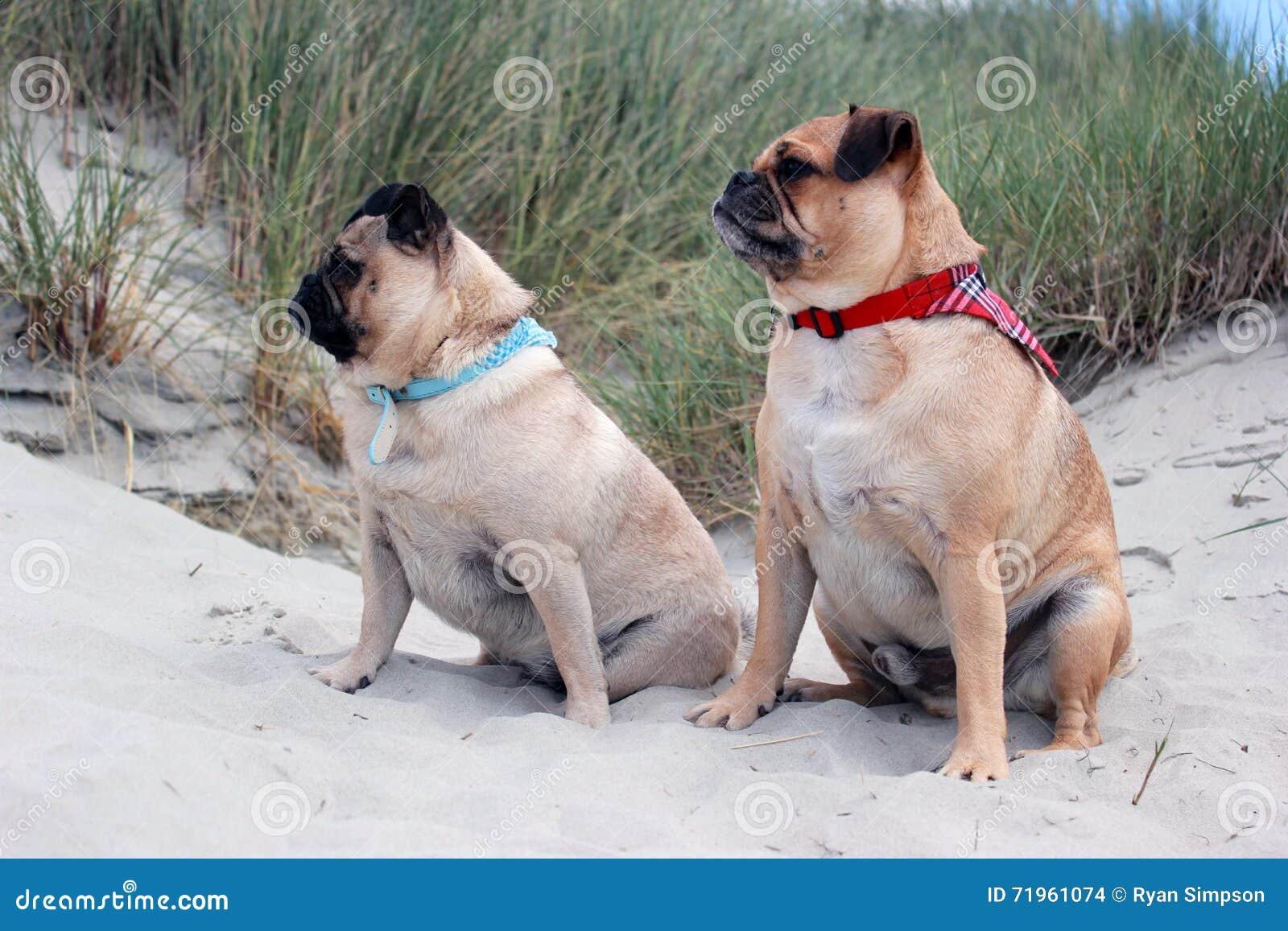 Pug Honden op een strandlandschap dat worden gezeten