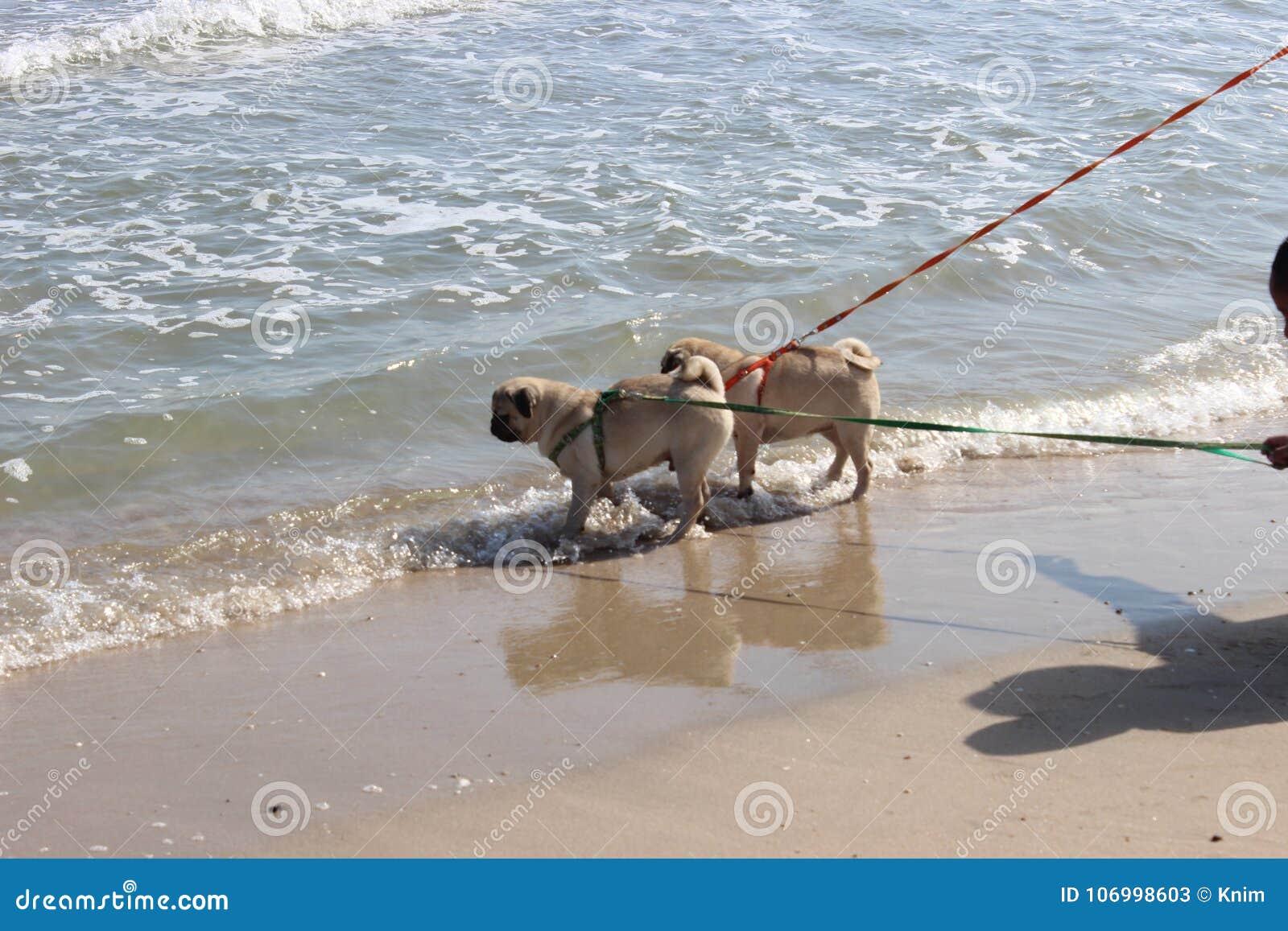 Pug hondgang in het overzees